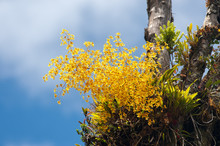 Orchid Of The Genus Oncidium O...