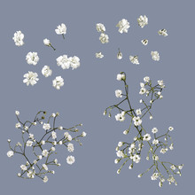 Vector Isolated Babys Breath F...