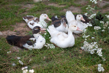 Domestic Ducks On Green Grass Lawn With Flowers, Organic Natural Breeding