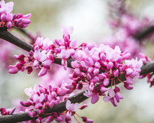 Macro Of The Pink And Purple Blossoms Of The Eastern Redbud (Cercis Canadensis)
