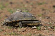 Snake-necked Turtle (Chelodina...