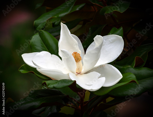 magnolia blossom isolated against a dark green leaf background