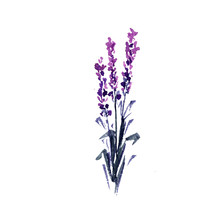 Lavender Flower Watercolor Ill...