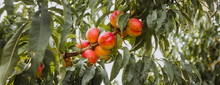 Sweet Organic Nectarines On Tree In Big Garden. Banner