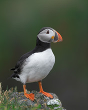 One Atlantic Puffin Standing On A Rock With Green Background Near Elliston, Newfoundland