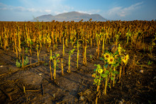 A Newly Grown Small Sunflower In A Field Of Dried Ripe Sunflowers
