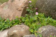 Wild Flowers Growing Among The Rocks