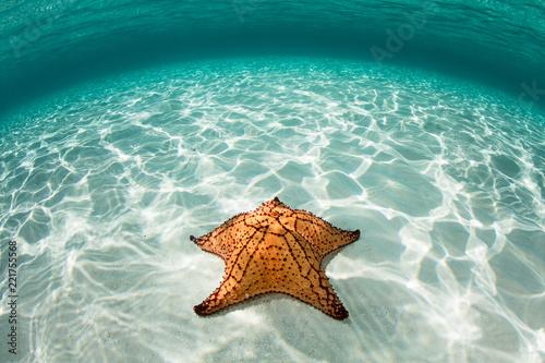 Fotografie, Obraz  West Indian Sea Star in Caribbean Sea