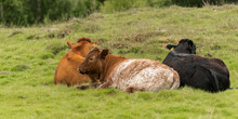 Group Of Three Cows Lying Down...