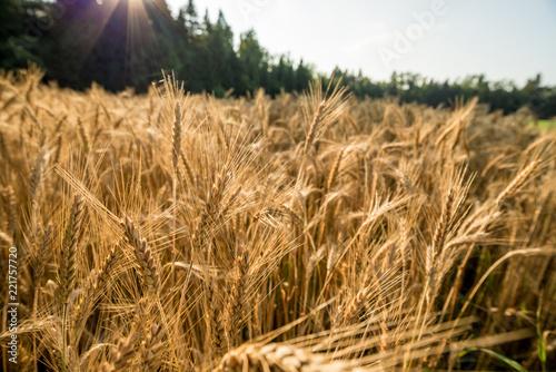 Closeup view of beautiful golden wheat field