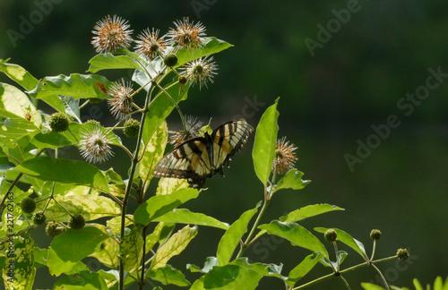 Fototapeta Butterfly hovering on flower