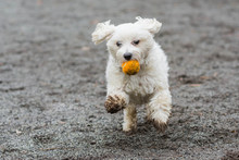 Small White Dog Running With O...