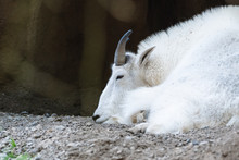 White Mountain Goat Resting On...