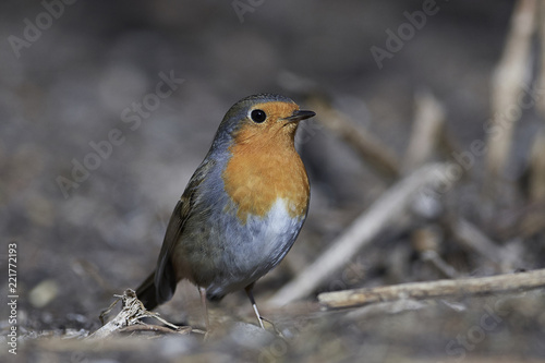Foto  European robin (Erithacus rubecula)