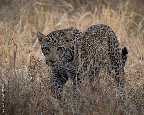 Deurstickers Luipaard Adolescent Leopard, South Africa