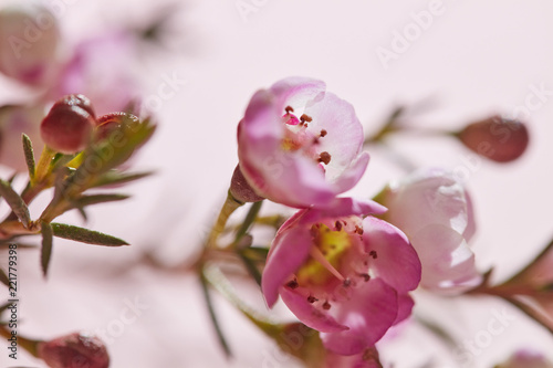 Foto op Canvas Bloemen Spring pink flowers on a pink background close-up. Floral background