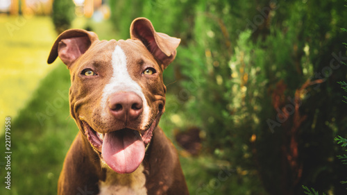 Fotografija Young American Staffordshire pitbull dog outdoors in summer day