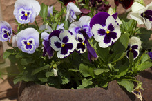 "Violets ""Pansies"". The Violet, Or Pansies, Or Viola Is A Herbaceous Annual Or Biennial (occasionally Perennial) Plant, Common In Europe And Temperate Regions Of Asia."