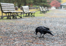Black Bird In Autumn Park. Raven Walks On Path Of The City Garden.Crow Is Looking For Food In The Autumn City.