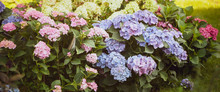Flowers Blue And Pink Hydrange...