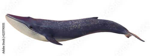 Fotografie, Obraz  Blue whale. White isolate.