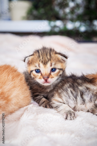 Fototapety, obrazy: portrait of one month old little cute kittens, tabby and ginger