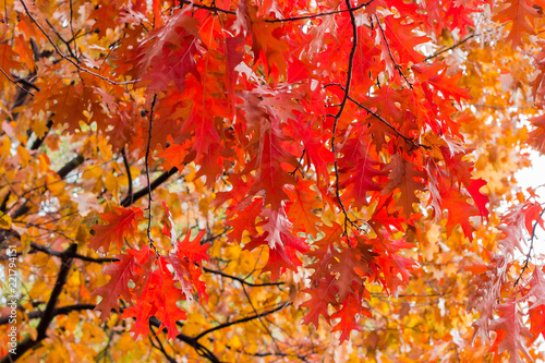Branches of the red oak with autumn leaves