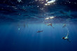 people snorkeling with sharks in blue ocean of polynesia