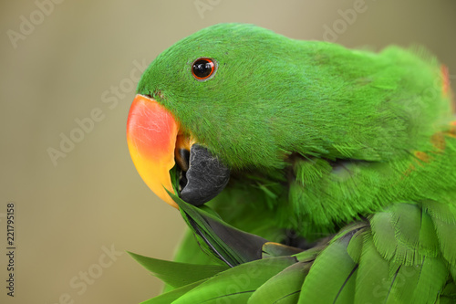 In de dag Papegaai Eclectus Parrot - Eclectus roratus, beautiful colorful parrot from Indonesian forests and woodlands, New Guinea.