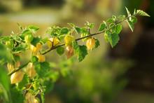 Ein Zweig An Einer Topfpflanze Mit Frischen Reifen Grünen Und Gelben Andenbeeren Am Strauch Im Warmen Sonnenlicht Im Garten.