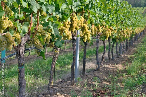 Row of vineyard with green grapes
