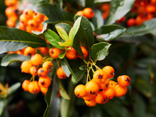 Scarlet Firethorn Berries And Leaves Close Up