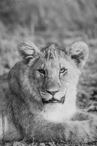 Staande foto Leeuw Lion Cubs feeding and playing.