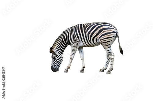 Tuinposter Zebra Zebra eating isolated on white background
