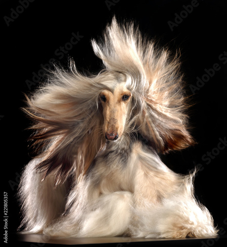 Photo Afghan hound Dog  Isolated  on Black Background in studio