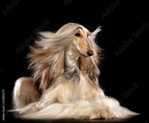 Afghan hound Dog  Isolated  on Black Background in studio Wallpaper Mural