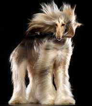 Afghan Hound Dog  Isolated  On...