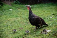 Turkey With Chicks