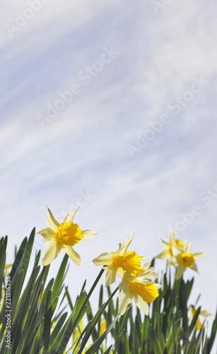 Foto op Aluminium Narcis スイセン 空 雲 素材
