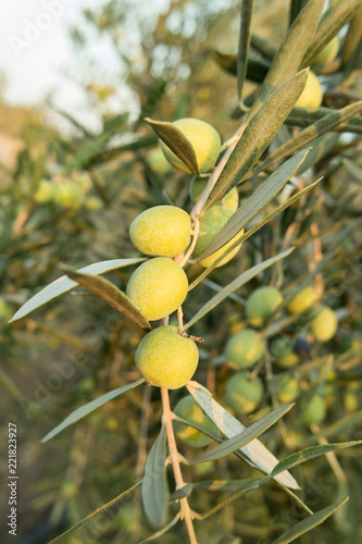 Poster Olijfboom Olive tree with fruits close-up