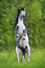 White Spanish Horse Rearing Up...