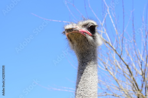 Big ostrich, muzzle with a huge beak, close-up. Beasts in captivity in the enclosure. Outdoor park with birds. Fluffy and large feathers on a living being.