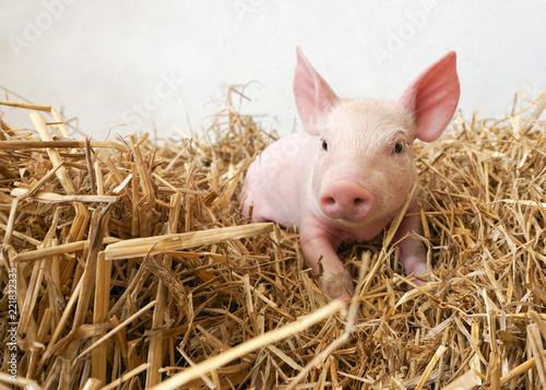 Leinwand Poster witziges kleines Schwein im Stroh, Ferkel, Glücksbringer