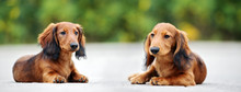 Two Dachshund Puppies Lying Down Outdoors