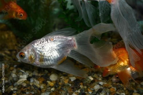 Fotobehang Golden fish (carassius auratus) swim in a tropical aquarium