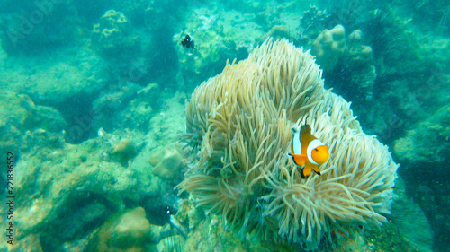 The orange clownfish also known as  clown anemonefish stay infront of green anemone Fototapet