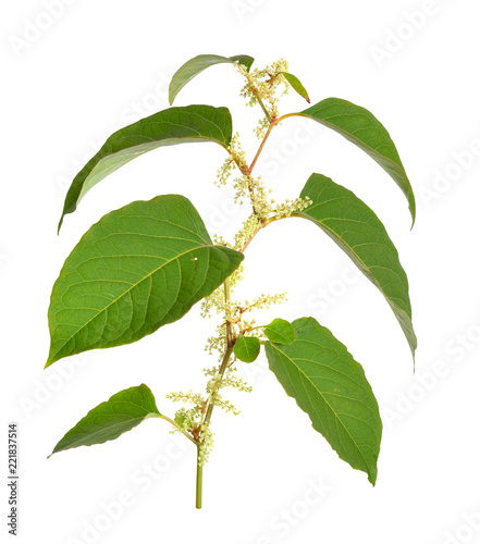 Reynutriya Bohemian or japonica, sachalinensis. Isolated on white.