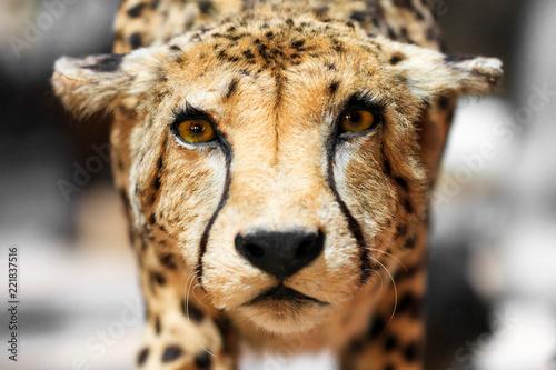 The cheetah (Acinonyx jubatus) close up portrait