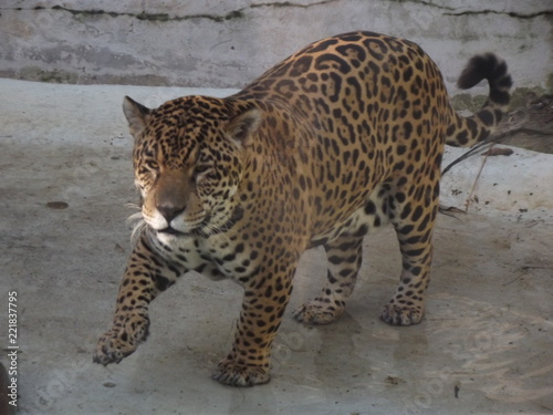 Foto op Aluminium Luipaard leopard watching
