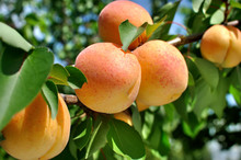 Branch Of The Ripe Apricots In...